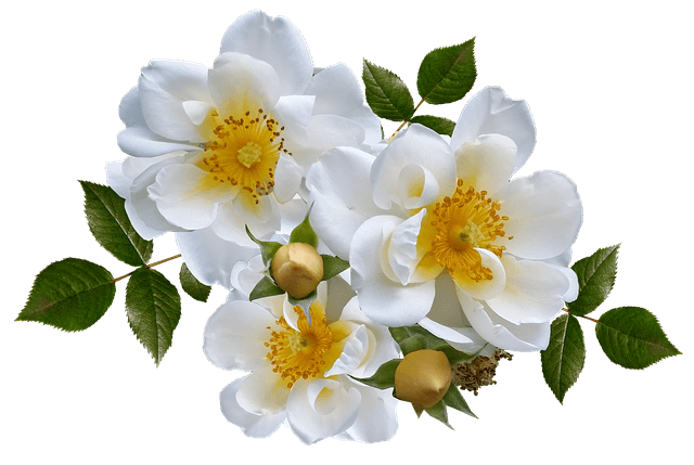 Flower - white rose